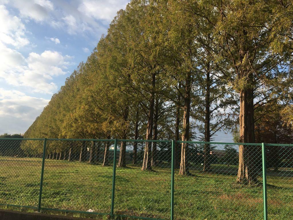 旧都立秋川高校メタセコイア並木