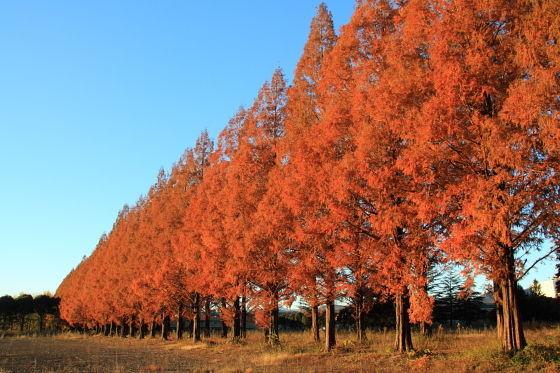 旧都立秋川高等学校跡地(あきる野市)メタセコイア並木