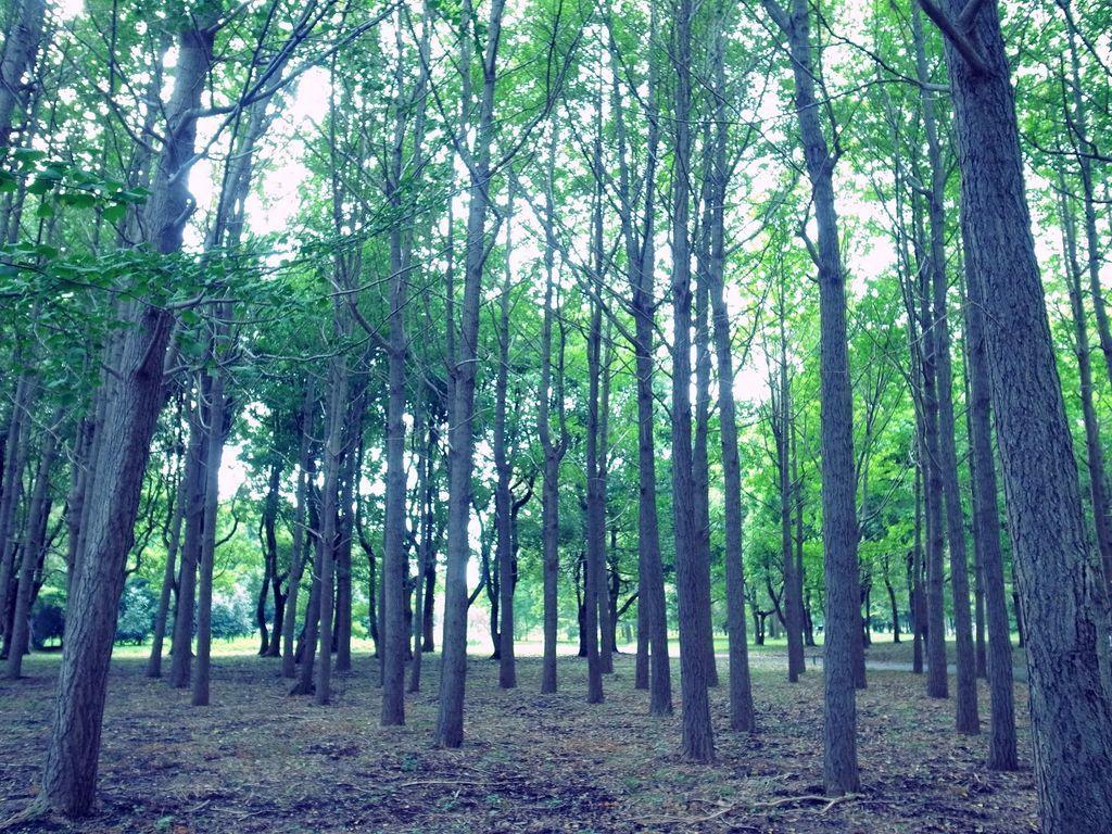 水元公園:メタセコイアの森