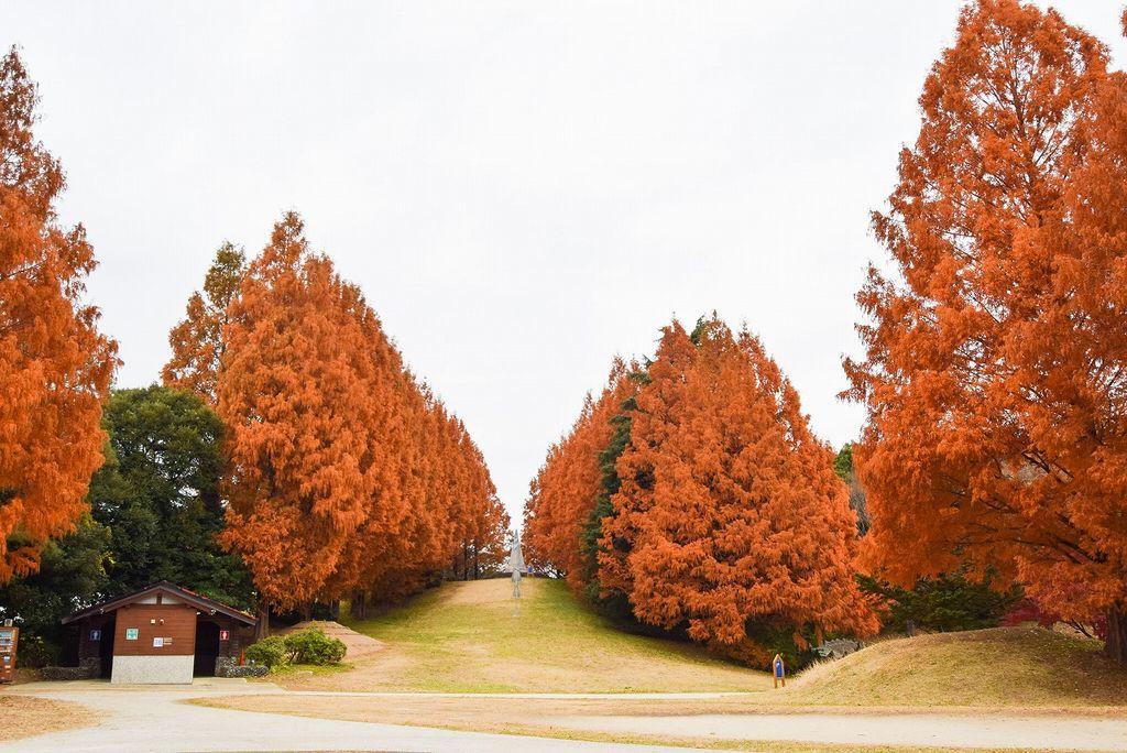 国営昭和記念公園のメタセコイア