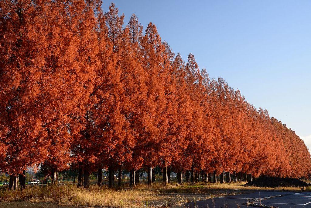 メタセコイア並木(あきる野市)