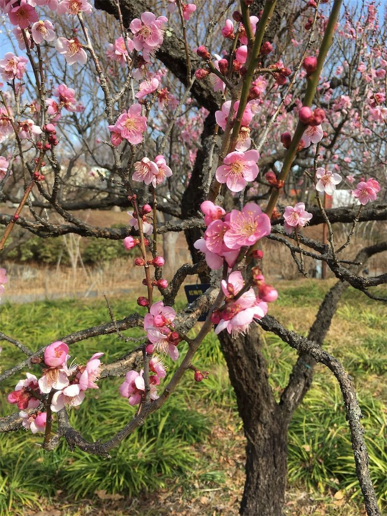 ピンク色に染まった梅が綺麗