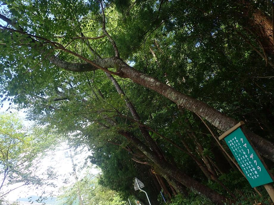 クマノザクラ 飛鳥神社
