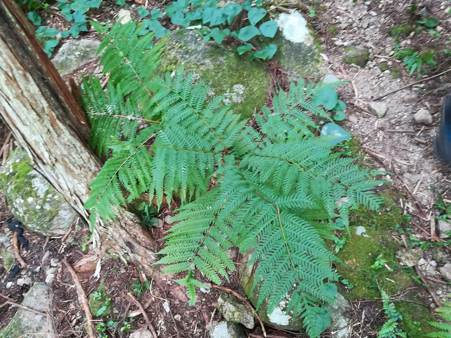 ナチシダ Pteris wallichiana