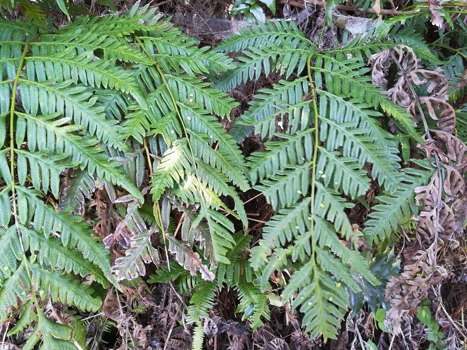 コモチシダ Woodwardia orientalis