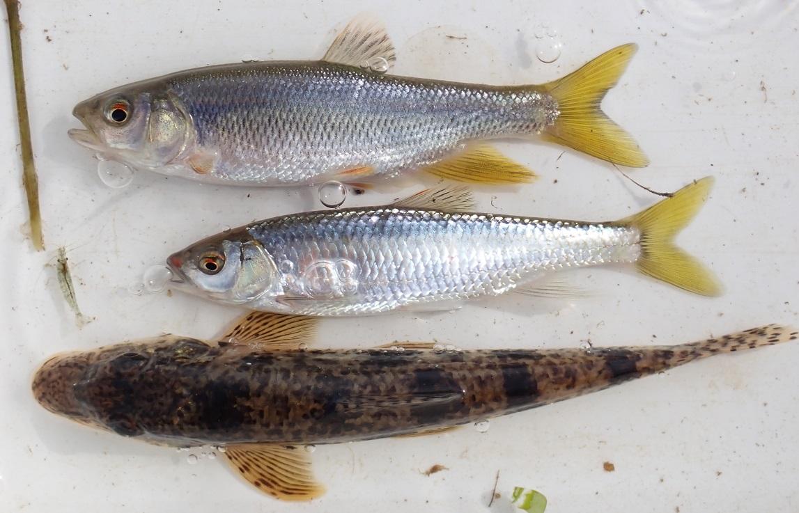 ヌマムツCandidia sieboldii、オイカワOpsariichthys platypus、カマツカPseudogobio esocinus