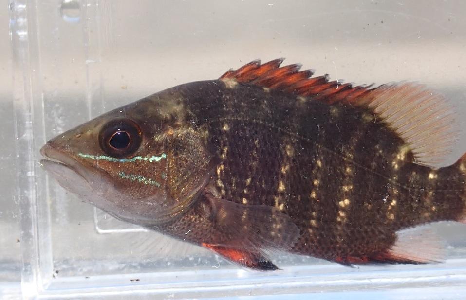 ゴマフエダの幼魚Lutjanus argentimaculatus