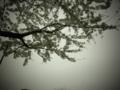 曇りのちお花見