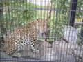 旭山動物園(豹)