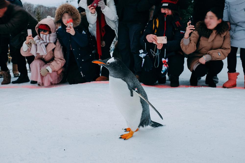 AIRDO20周年ひがし北海道フリーパス_鉄道の旅_旭山動物園_ペンギン散歩