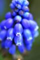 「ムスカリの花言葉」 Nikon D90 / Micro-Nikkor 105mm f2.8