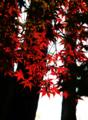 「紅」 Nikon D800 / Nikkor 50mm f1.4
