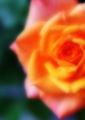 「薔薇」 Nikon D800 / Micro-Nikkor 105mm f2.8