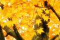 「黄色い紅葉」 Nikon D90 /Tokina AT-X PRO 28-70mm f2.8