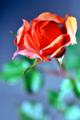 「薔薇Ⅱ」Nikon D800 / Micro-Nikkor 105mm f2.8