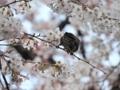 [桜][さくら][ヒヨドリ][オナガ][鳥]ヒヨドリのおしりと桜