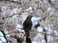 [桜][さくら][ヒヨドリ][オナガ][鳥]ヒヨドリと桜