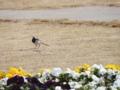 [鳥][ハクセキレイ]ハクセキレイとお花