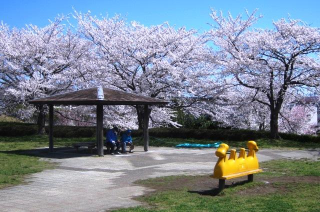 高麗川堤の桜