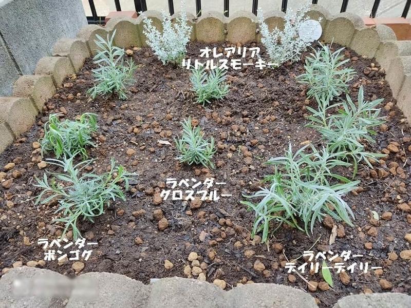 自宅花壇、ラベンダーの画像
