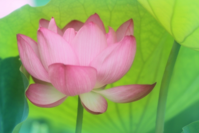 蓮の花 写真