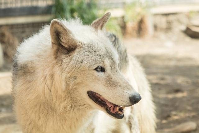 オオカミ イメージ 写真