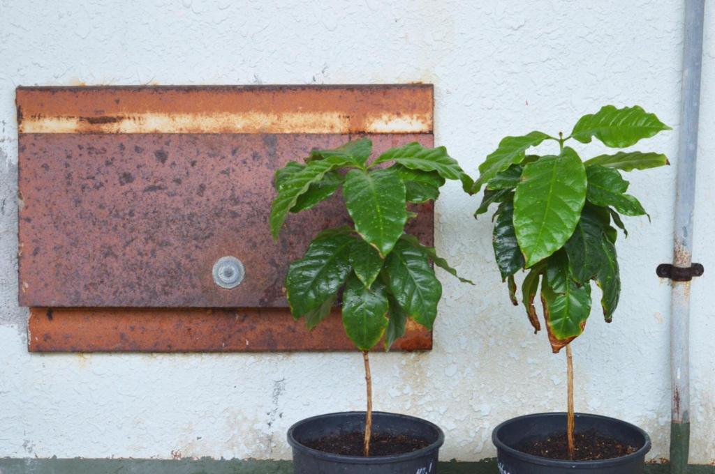 コーヒーの鉢植え