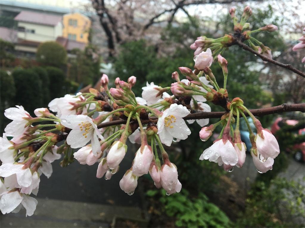 桜 お花見 雨 キレイ