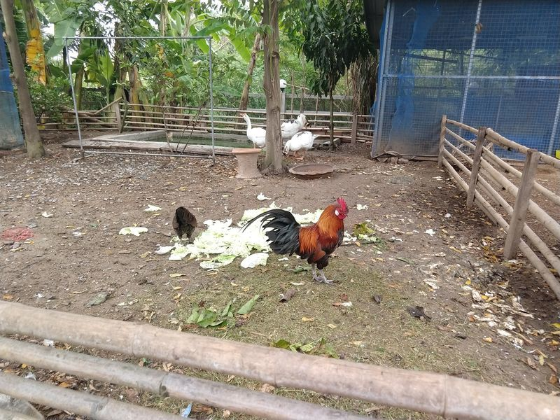 タイ にわとり 鶏