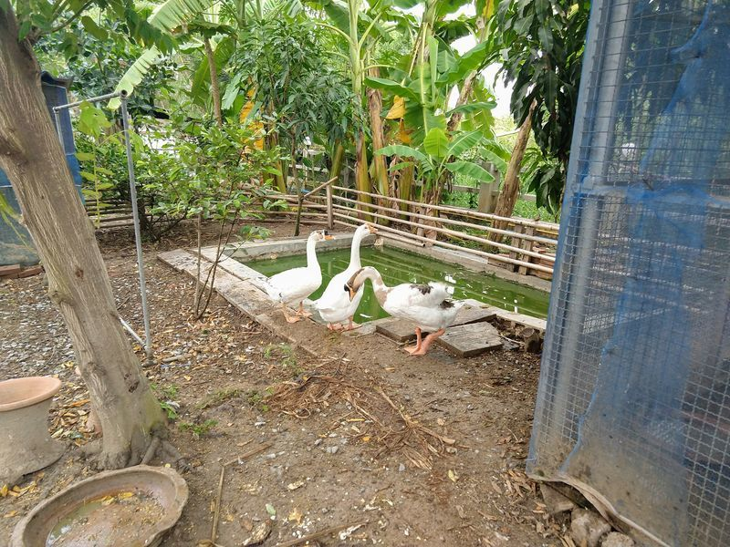 タイ 白鳥