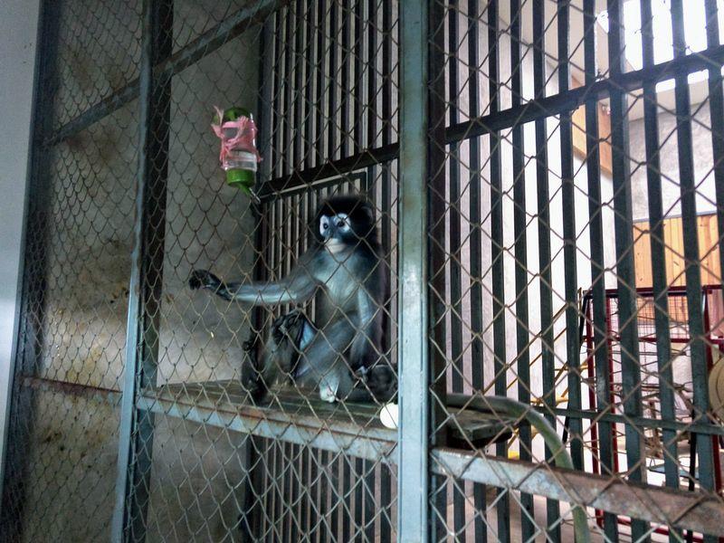 バンコク 猿 飼育