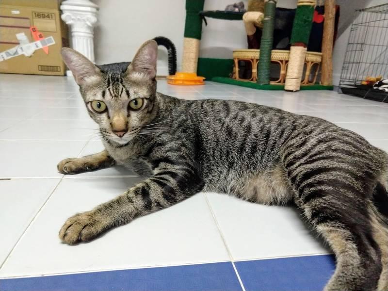 タイ ネコ 猫