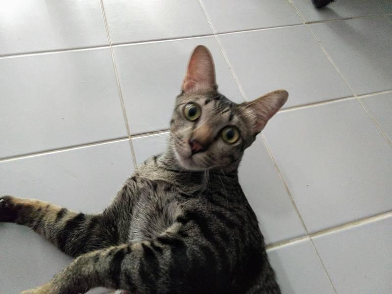 タイ ネコ かわいい