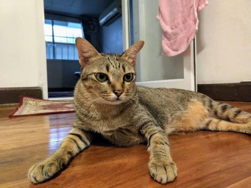 猫 飼い猫 タイ