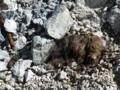 ツキノワグマの体毛