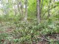 ミズナラ食痕(ツキノワグマ)