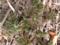 フクジュソウの葉