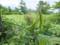 コバイケイソウの花芽