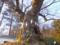 シナノキご神木