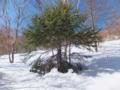 雪につかまる針葉樹