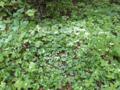 林床の高山植物