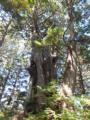 巨木がゴロゴロ