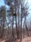 アカマツとノスリの巣