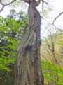 イヌシデの大木