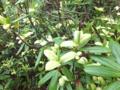 シャクナゲの葉