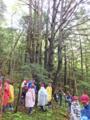 会わせたいコメツガ巨木