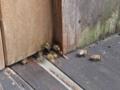 日本ミツバチの巣