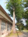 カツラの樹