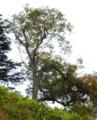 ダケカンバの巨木