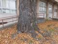 カツラ大木